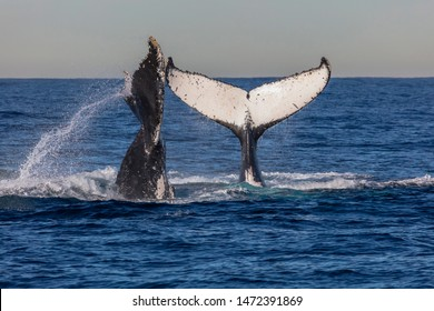 Two humpback whales tail-throw simultaneously during their northern migration from Antarctica. Sydney, Australia.