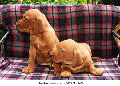 Two Hungarian Vizsla dog puppy