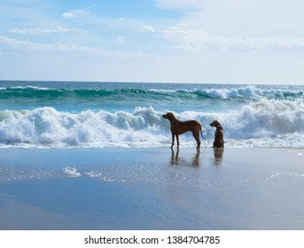 Two hungarian vizsla dogs playing at Maslin Beach, South Australia