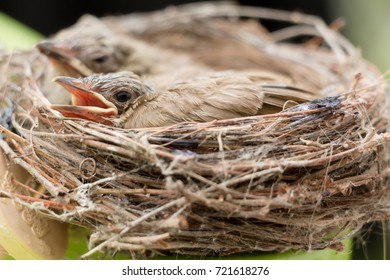 Two Hungry Baby Bird in Nest Waiting Mother to Feed Them Food.