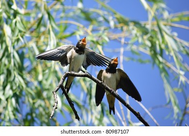 Two hungry swallows