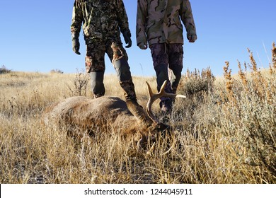 Two hunters find their shot deer while on a deer hunt, in the field and prepare for processing