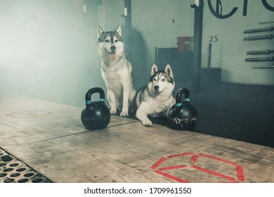 Two husky with kettle balls at the gym