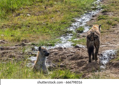 Two hyenas in the African wilderness