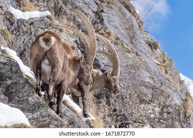 Two ibexes in Alps mountains (Capra ibex)