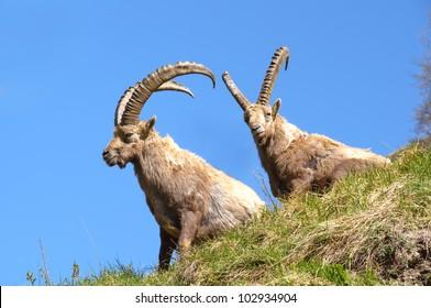 Two ibexes near Champagny en Vanoise