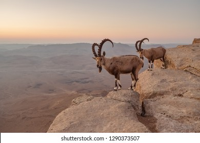 Two ibexes on the cliff at Ramon Crater in Negev Desert in Mitzpe Ramon, Israel