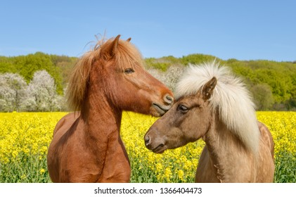 Two Icelandic horses standing side by side, nibbling their heads, in a yellow flowering field of rapeseed on a sunny day in front of blue sky in spring, a chestnut and a silver dapple colored pony, Ge