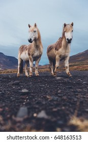 Two Icelandic horses standing together.