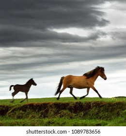 Two Icelandic horses walk across a meadow, one of the animals is a foal, above it a dramatically clouded sky, a local motif - Location: Iceland, Golden Circle
