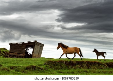 Two Icelandic horses walk across a meadow to a wooden hut, one of the animals is a foal, above it a dramatically clouded sky, a local motif - Location: Iceland, Golden Circle