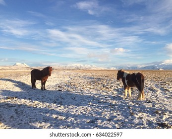 Two icelandic horses and the winter lanscape