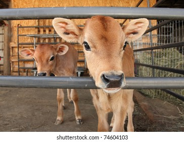 two identical calves standing together in barn pen
