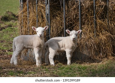 Two identical lambs standing by a hay hopper looking towards the camera
