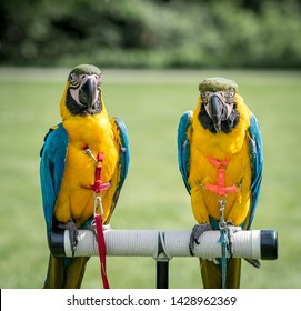 Two identical parrots (ara ararauna) in a harness. Blurred out green background.