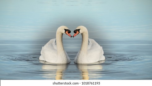 Two identical swans on the lake