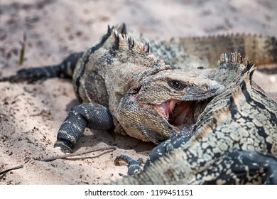 Two iguanas shows really tough fight for territory
