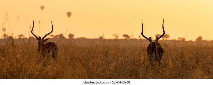Two impalas at dawn in the long red-oat grass of the Masai Mara, Kenya. Balloons can be seen in the sky in the distance. Horizontal banner in popular social media proportions with space for text.