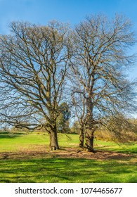 Two impressive oak trees with no leaves in the sunshine surronded by green grass