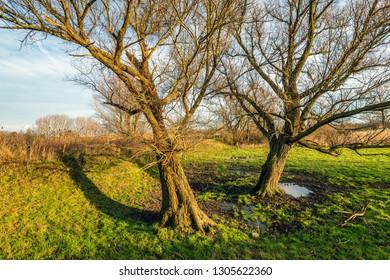 Two inclined trees with bare branches in the low light of the setting sun. The photo was taken in the Dutch Nationa Park Biesbosch, North Brabant.