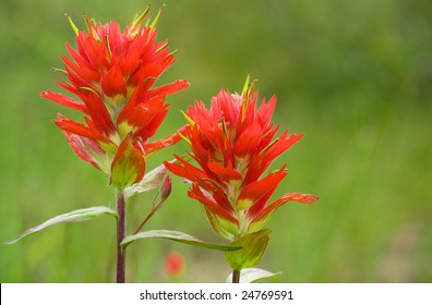 Two indian paintbrush flowers against a green background