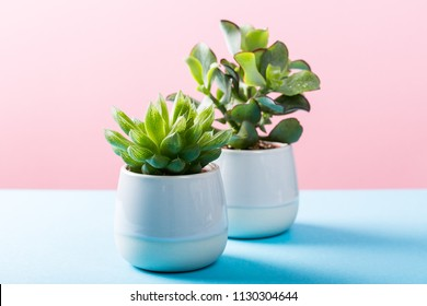 Two indoor plants succulent in gray ceramic pots on blue and pink background with copy space.