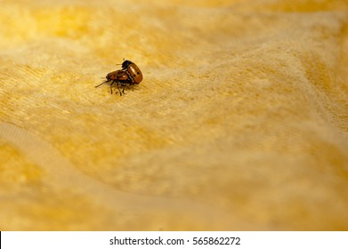 Two insects having sex on a beach towel