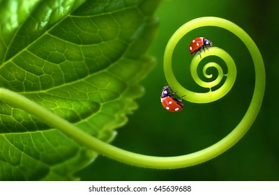 Two insects ladybirds on leaf curl spiral on a soft blurred green background. Original concept of the idea, beautiful cheerful colorful artistic image of insects in nature. Macro close-up