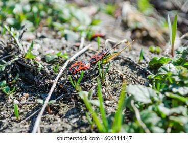 Two insects in the mating process crawling