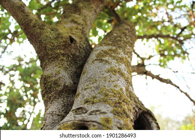 two intertwined old trees with moss on the trunks in summer with greenery against the sky