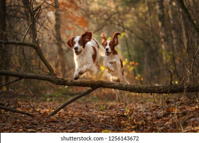 two Irish red and white setter jumping in forest
