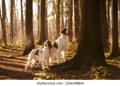 two Irish red and white setter standing together in beautiful bright autumn forest