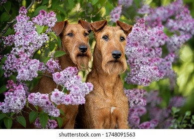 two irish terrier dogs portrait in blooming lilac bush