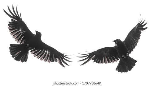 Two isolated carrion crows in flight with fully open wings