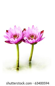 Two isolated pink lotus flowers on white background. We can see a bit of water reflection on the bottom part.