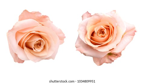 two isolated pink rose head