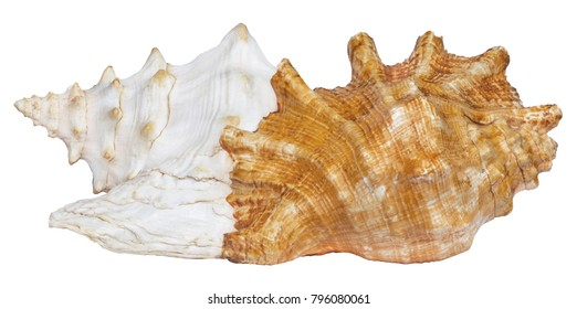 Two Isolated queen conch seashells  taken from the same sides