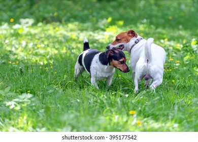 two jack russel terrier