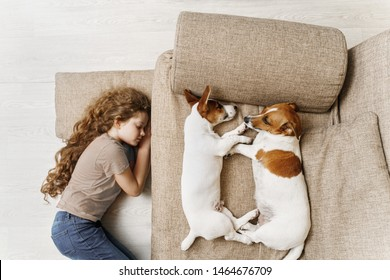 Two Jack Russell are sleeping on the bed, and the owner of the girl is sleeping on the floor. Education, discipline, training concept.