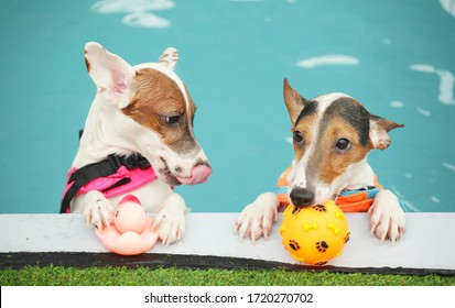 Two jack russell terrier dogs are enjoying ball-fetching and swimming in a dog pool.