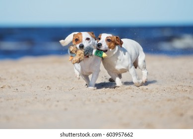 two jack russell terrier dogs playing with a toy