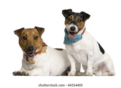 Two Jack Russell Terriers sitting in front of white background, studio shot