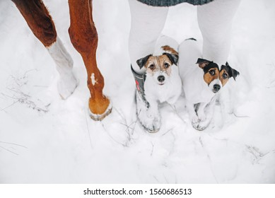 Two jack russell terriers stand on feet of his owner near a horse