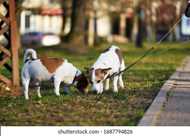 Two Jack Russell terriers walking along the grass.