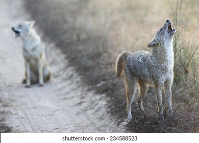 Two Jackals in Kanha National Park India