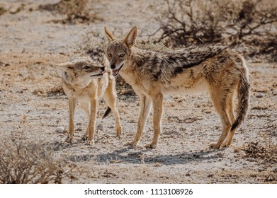 Two jackals standing on the african savannah