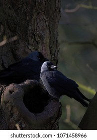 Two jackdaws sitting on an old hollow and gnarled tree it uses for nesting