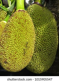 Two jackfruit hanging on a branch