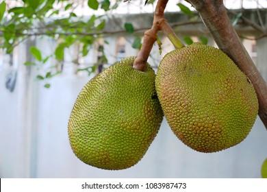 two Jackfruit on the jackfruit tree