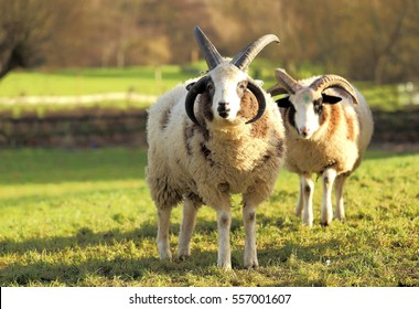 Two Jacob sheep on the field. The Jacob sheep is a rare breed of small, piebald, polycerate sheep.